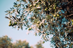 valverde-retreats-surroundings-olives